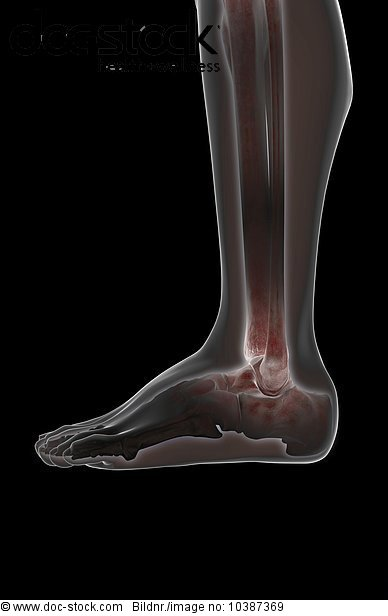 3D4M000007254,A lateral view of the bones of the leg,Bein Beine,Bein ...