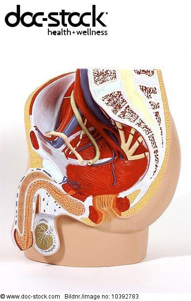 Abdomen,Ader,Ader Blutader,After Anus,Analkanal,Anatomie ...
