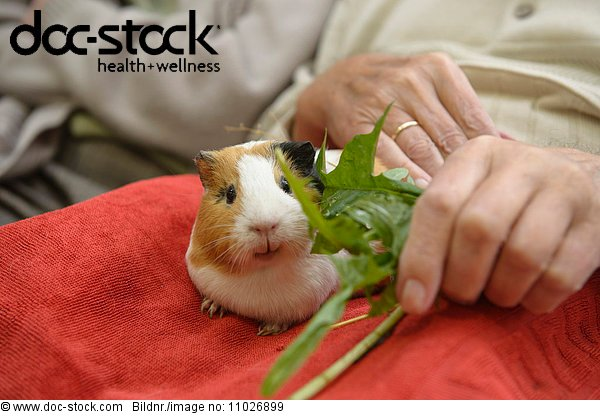 Animal-assisted therapy with guinea pig in nursing home