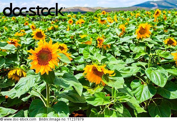 Blooming sunflowers in a field