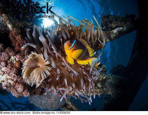 Amphiprion bicinctus,Anemone,Anemonenfisch,Asien,Außenaufnahme,Barsch