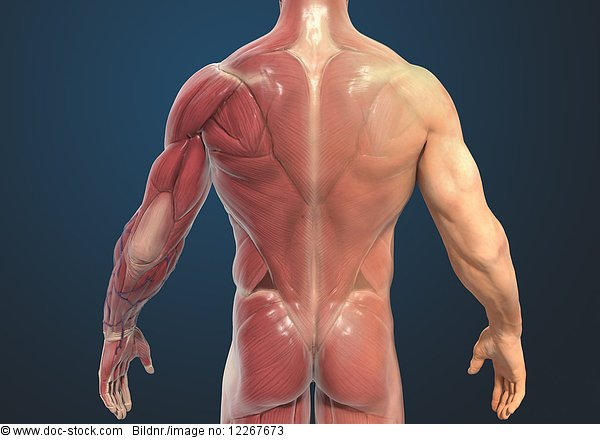 Muskulatur des Rückens eines Mannes, Illustration