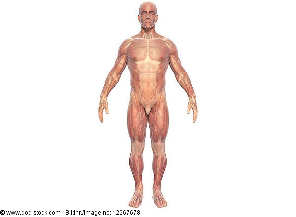 Muskeln eines Mannes, Illustration