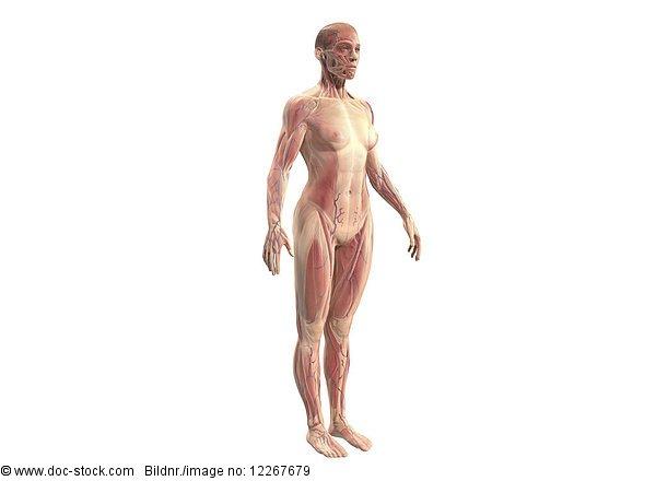 Muskeln einer Frau, Illustration