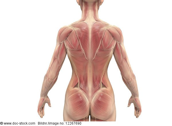 Muskulatur des Rückens einer Frau, Illustration