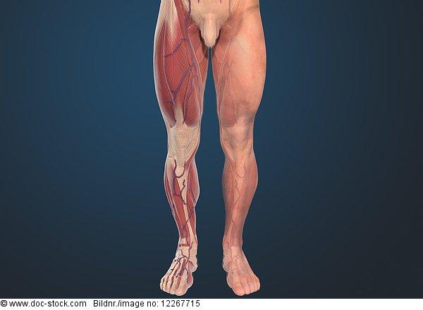 Muskeln der Beine eines Mannes, Illustration