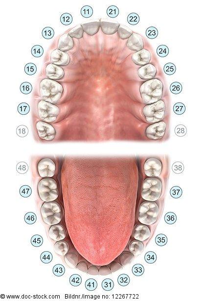 Zahnschema für Oberkiefer und Unterkiefer, Illustration