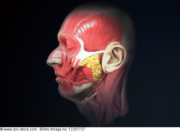 Anatomie des menschlichen Kopfes, Illustration
