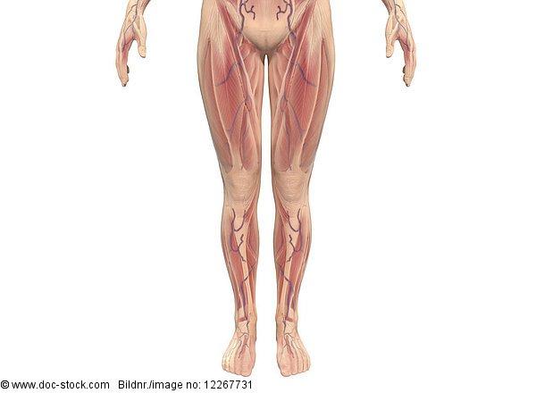 Muskeln der Beine einer Frau, Illustration
