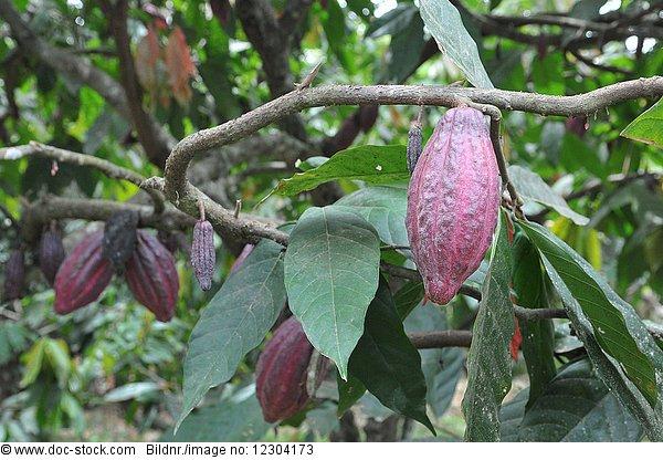 Außenaufnahme,Baum,Biologie,Botanik,Frucht,Gemüse